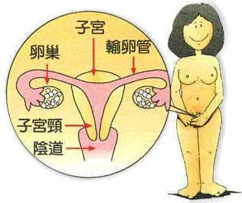 女性生殖系统解剖图