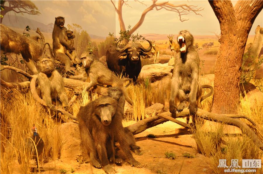山东博物馆非洲野生动物大迁徙展是迄今为止全国规模最大、展出动物标本最多、展陈手段最先进的非洲野生动物展。共展出包括非洲象、犀牛、尼罗鳄、非洲狮在内的珍贵非洲野生动物百余种,350余件。展览以神秘狂野的非洲大陆为背景,以非洲野生动物大迁徙为主线,采用最先进的展示理念和展示手法让观众真实感受这一生物界的壮丽史诗。