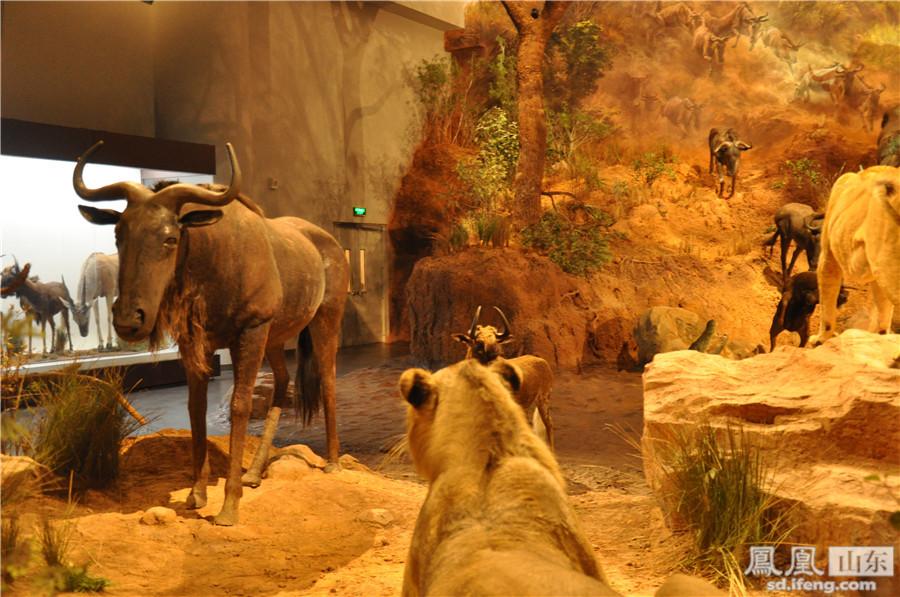 """山东博物馆上演""""非洲野生动物大迁徙"""""""