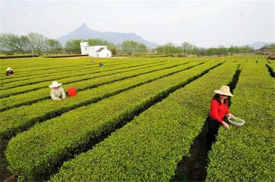 """岳西翠兰名茶是生长在大别山区的优质云雾茶。新创名茶。产于皖西大别山腹地岳西县境内的主薄、头陀、来榜区。该地原属陆羽《茶经》所载盛产茶叶的寿州和舒州,土壤肥沃,气候温和,雨量充沛,昼夜温差大。茶园大多分布在海拔600-800米的深山峡谷之中,周围树木葱笼,百花溢香,云雾弥漫。""""岳西翠兰""""是在地方名茶小兰花的传统制作技术基础上创制的。谷雨前后选采一芽二叶,用竹帚翻炒杀青,继而手工造形,后经炭火烘焙而成。其外形优美,芽叶相连,自然舒展,酷似小兰花;其汤翠绿明亮,香气持久;其味醇厚而回甘"""