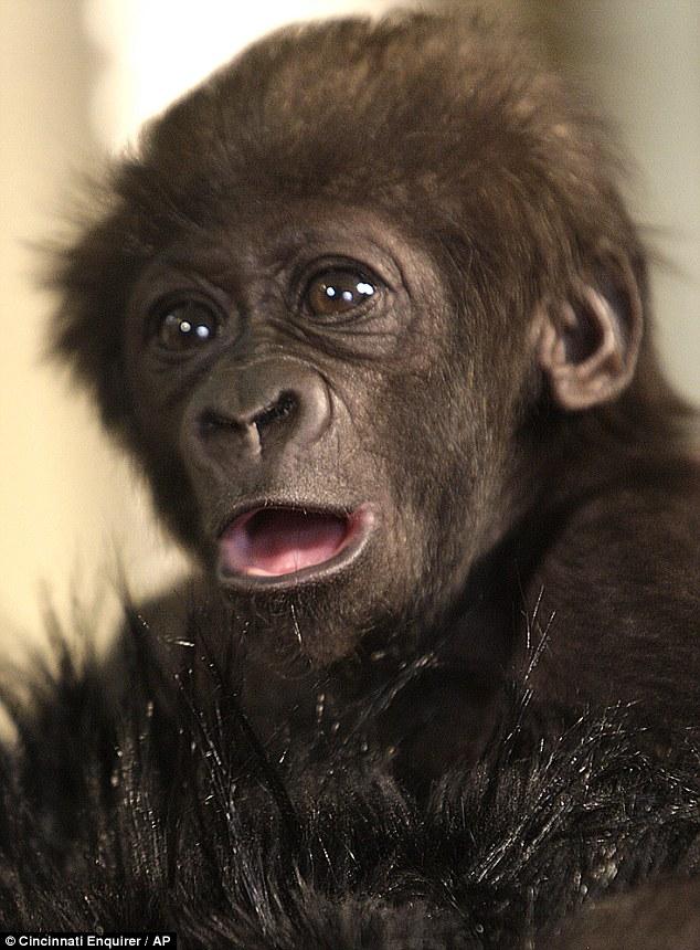 组图:美动物园管理员扮妈妈照顾小猩猩