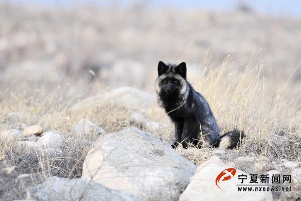 贺兰山边的神秘黑狐
