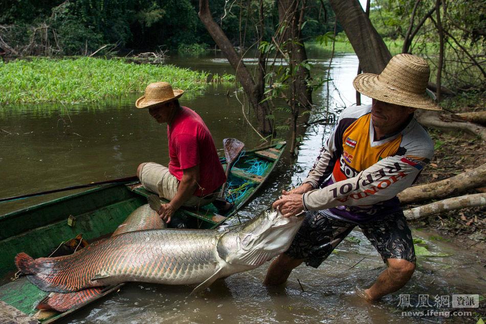 巴西村民捕杀巨滑舌鱼 - 人在上海    - 中華日报Chinadaily
