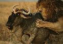 15头雄狮猎杀角马