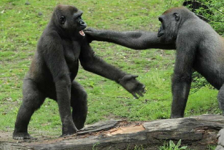 大猩猩究竟有多凶猛呢?据英国《镜报》5月21日报道,日前,美国纽约布朗克斯动物园就上演了一场大猩猩拳击赛,2只大猩猩搏击长达一个小时,场面十分激烈。   据报道,以色列动物学家米沙尔博士(Michal Samuni-Blank)当时捕捉到了大猩猩搏斗时的场景,这是其灵长类动物行为研究的一部分。画面显示,2只大猩猩互相挥拳,你追我逐,极像人类拳击比赛的现场。为了赢得比赛,成为能够自力更生的成年大猩猩,它们不断比拼,使用勾拳、直拳和刺拳等各种技巧,这样精彩的角逐即使是世界拳击冠军弗拉基米尔克里钦科(Wla