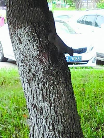 闹市区两只小松鼠 安家 别靠近或惊动它们