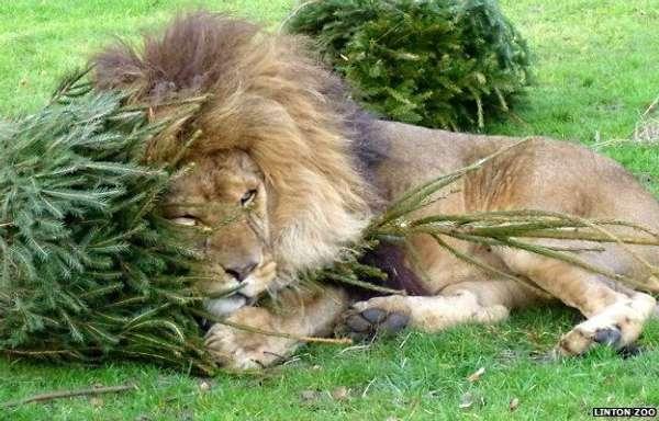 大型猫科动物得到了圣诞树当做新年玩具