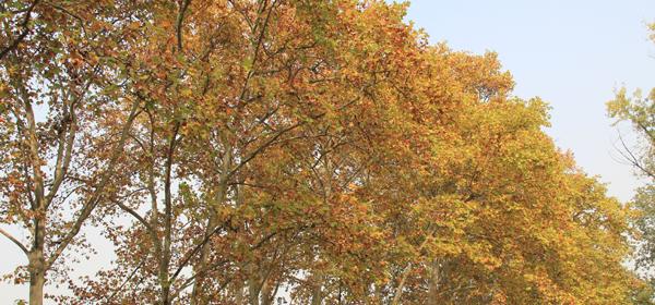 染上秋色的梧桐树