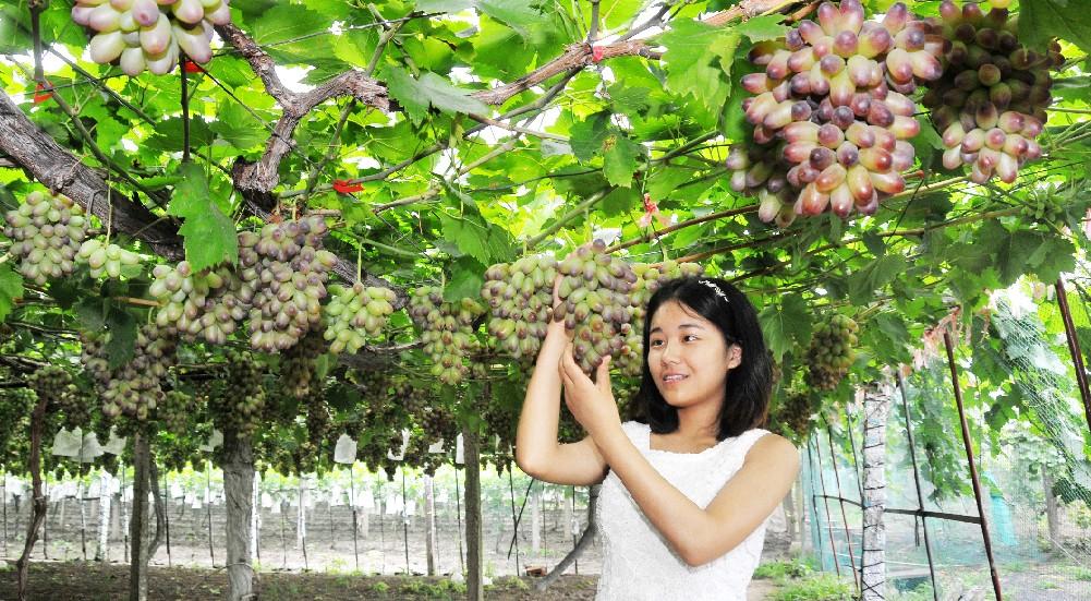欢喜摘葡萄