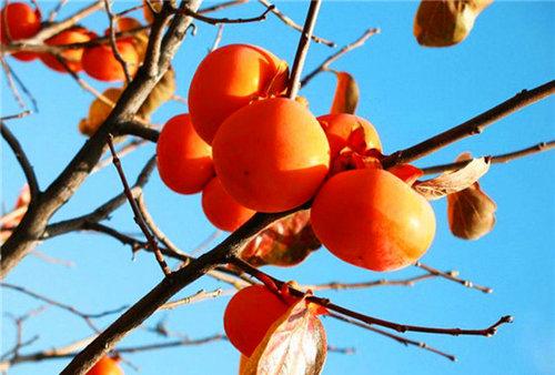 梦见红色果实累累挂枝头