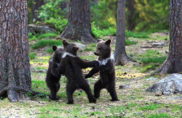 """熊宝宝 原标题:芬兰熊宝宝""""手拉手""""大跳圆圈舞(组图) 据英国《每日邮报》近日报道,芬兰52岁的体育老师瓦尔特利在树林里幸运地拍到三只棕熊宝宝围成圆圈,欢快起舞的萌照。 报道称,瓦尔特利在穿越东芬兰的树林时,惊奇地看到三只站立的熊宝宝。像置身童话故事里的魔法森林般,它们欢乐地点着步子,扭动身体,偶尔还""""手拉手""""绕着圆圈起舞。不一会儿,一只小熊独自站出来,开始大跳""""吉格舞"""",似乎象征比舞胜出。 瓦尔特利兴奋地表示,通常熊宝宝站起来,都"""