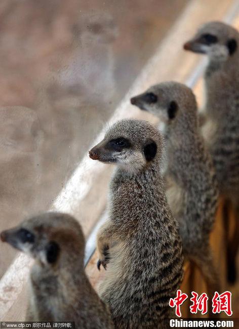 三只小猫鼬时6月21日出生的,目前尚不能分辨性别.