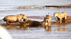 3只狮子为夺湖边大象尸体围攻鳄鱼
