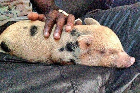 巴神买2月大小猪崽当宠物