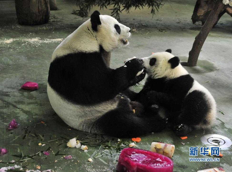 """大熊猫宝宝""""圆仔""""一岁了"""
