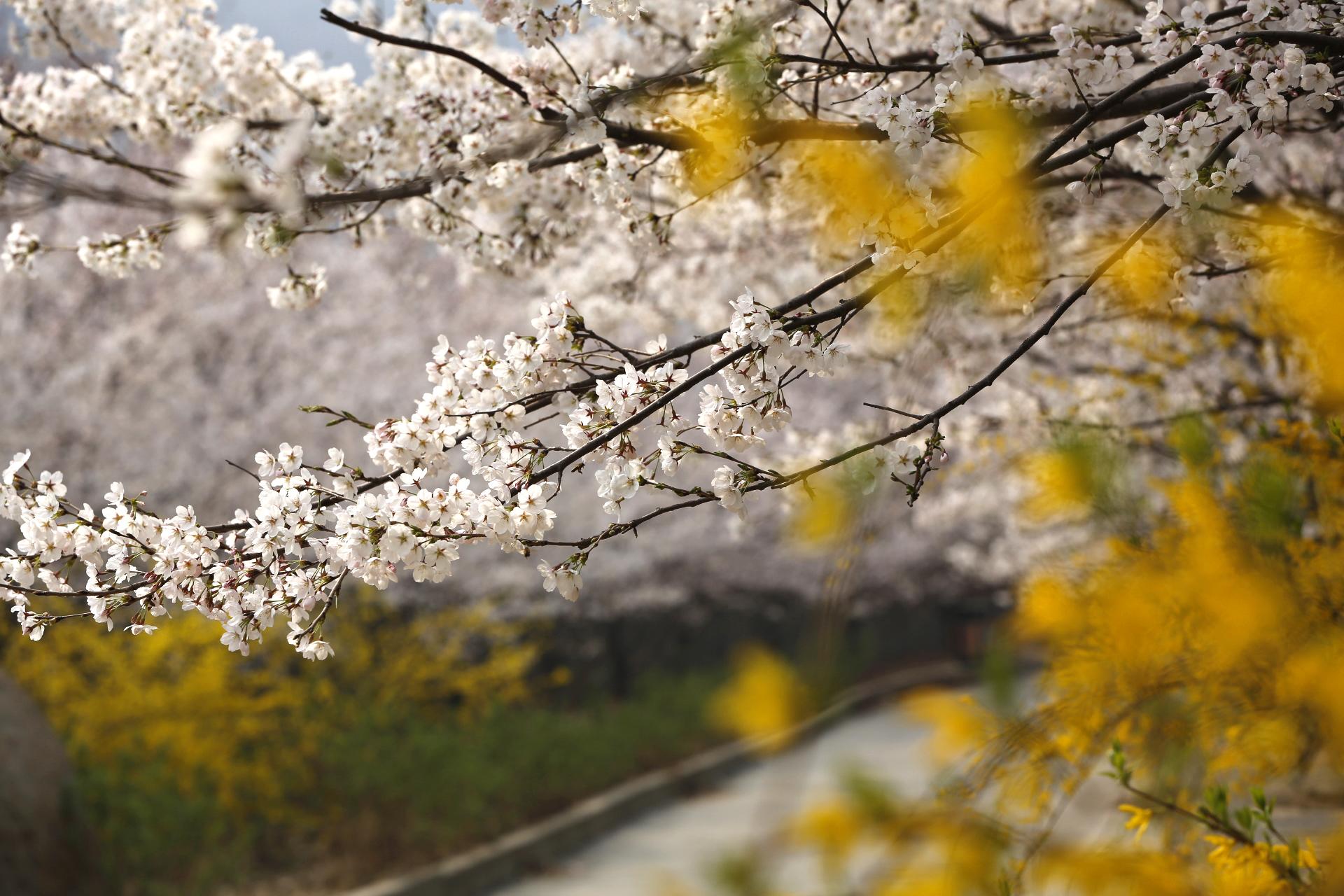 """美丽樱花盛开 很多专程赶来赏樱的游客都说不虚此行,都没想到在自家门口竟然有这么大规模的赏樱基地,来自济南的王女士说:本想去""""武大""""或者南方赏樱的,后来看到朋友拍的这里的樱花图片,很惊艳也很诧异,现实看到的樱花大道比照片上更震撼更美丽。 樱花山以""""山水相间、樱花漫山""""的独特景观吸引了无数游人,也得到众多摄影家的青睐,近期""""中国新闻摄影学会""""和""""山东摄影家协会""""分别在樱花山挂牌,为广大摄影爱好者提供了一处绝佳的创"""
