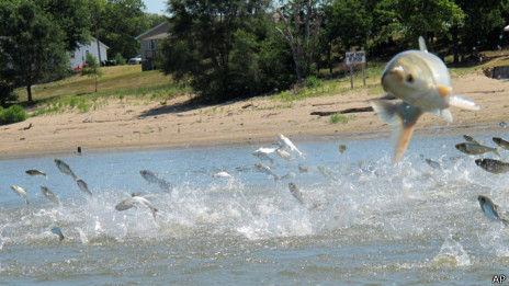 亚洲鲤鱼泛滥成灾芝加哥考虑对鱼开战(图)