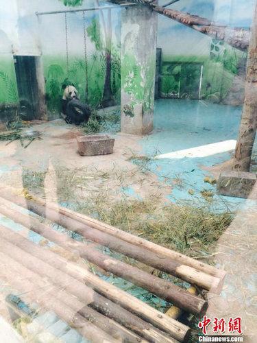 郑州动物园大熊猫患病死亡