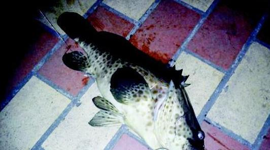 鼓浪屿钓起十斤石斑鱼?钓友称该鱼恐为人工养殖