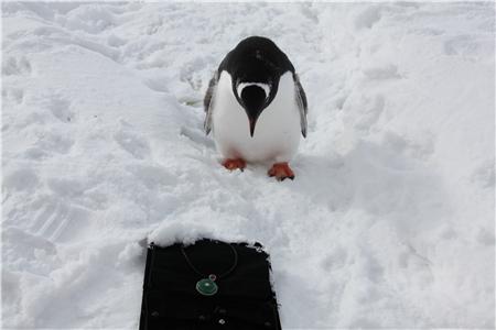 最可爱的是,在拍照期间,小企鹅们似乎发现了这些颜色鲜艳的珠宝,迈着