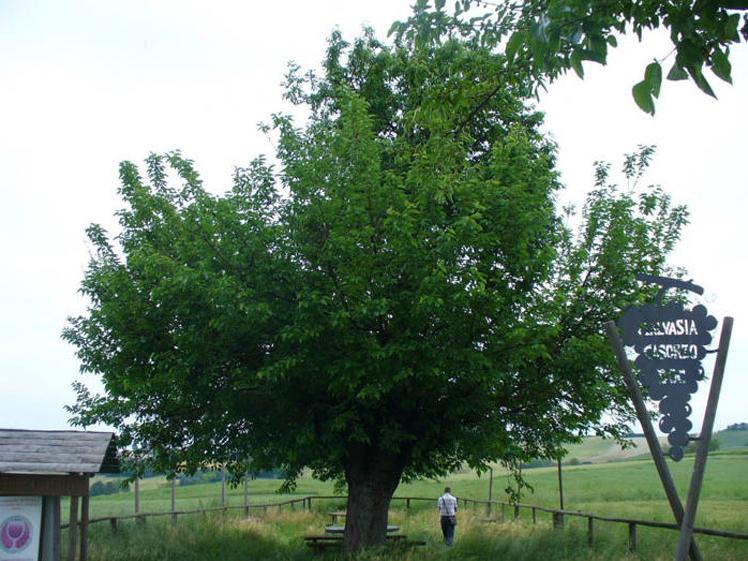 樱桃树长在桑树顶部.(网页截图) 国际在线专稿:据美国Oddit图片