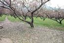 持续性阴雨成为果树花期主要气象灾害