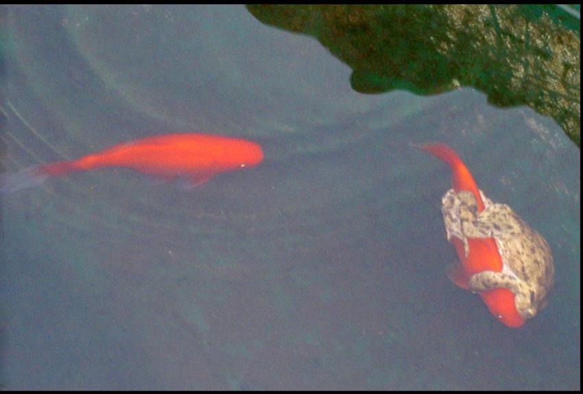 英懒惰青蛙 骑金鱼过池塘