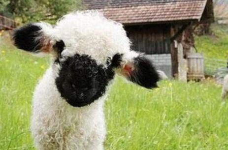 史上最萌小羊:面部自带