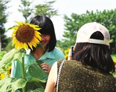 国庆期间榕各大公园看点足 向日葵花海花开正好