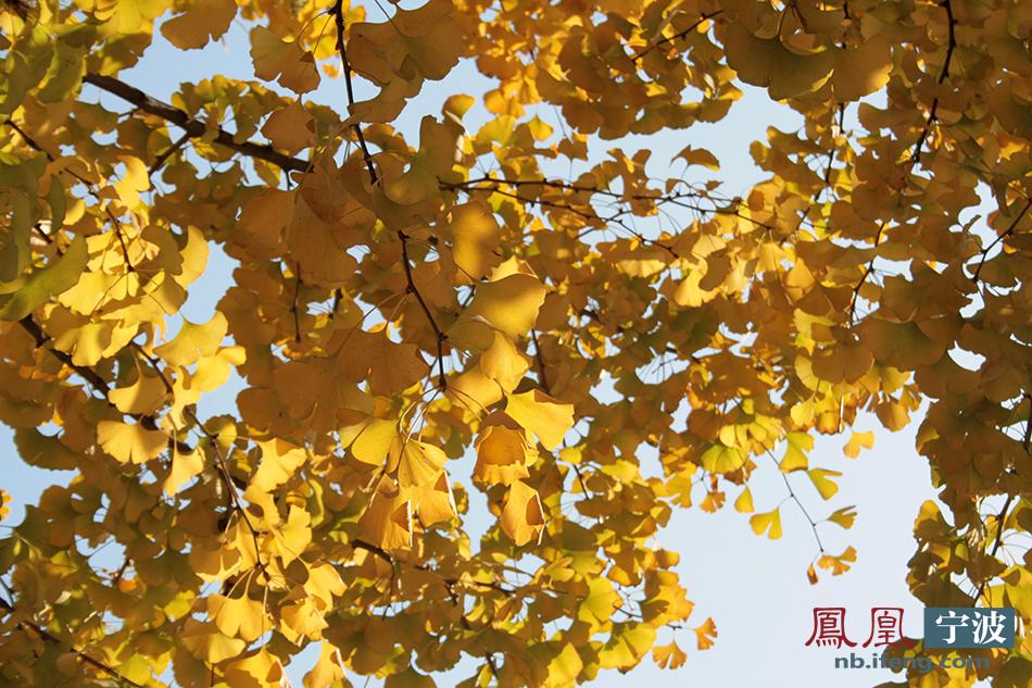 宁波初冬的颜色:树叶的霎那韶光