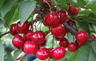 崂山北宅樱桃红遍满山迎采摘