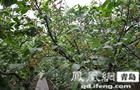 北宅樱桃节精品园:大崂红樱生态园