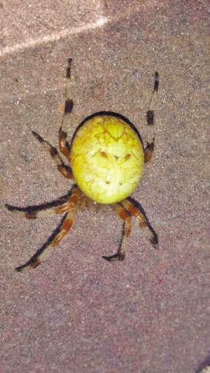 我拍到的这只蜘蛛后背的图案