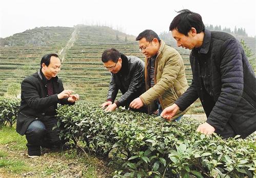 酉阳木叶乡万亩荒山种出绿色产业(图)图片
