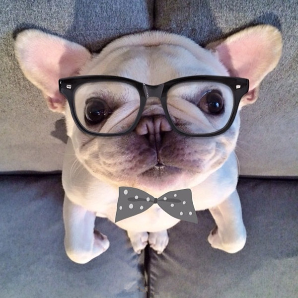 barkley是一只可爱呆萌又臭美的法国斗牛犬