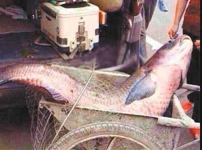 重庆一河沟现长3米、重300斤大鱼 曾被疑为水怪(图)