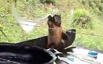 实拍小猴子暴力洗衣服 乐此不疲
