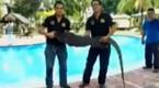 马来西亚泳池闯入身长2.3米巨型壁虎