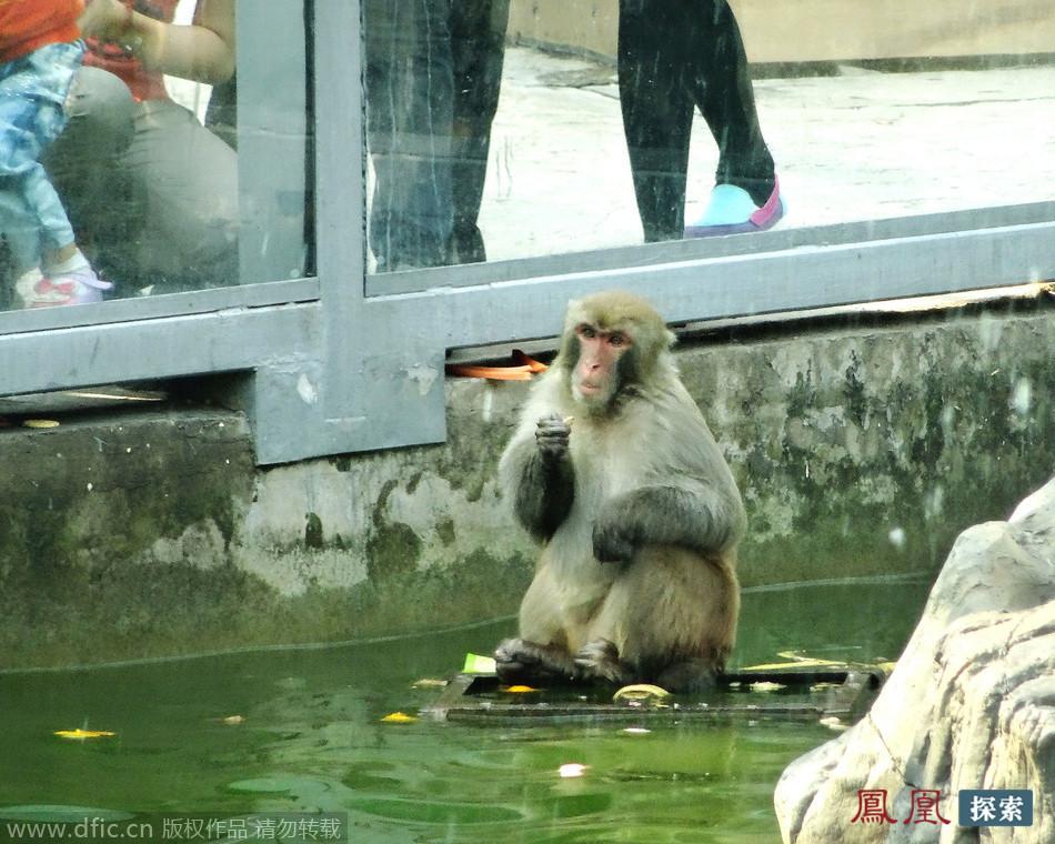 """动物园上演""""猴王争霸战"""" 落败公猴被迫蹲水中思过"""