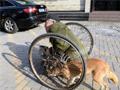 """温州""""忠犬""""推残疾主人乞讨 拒引诱不离家"""
