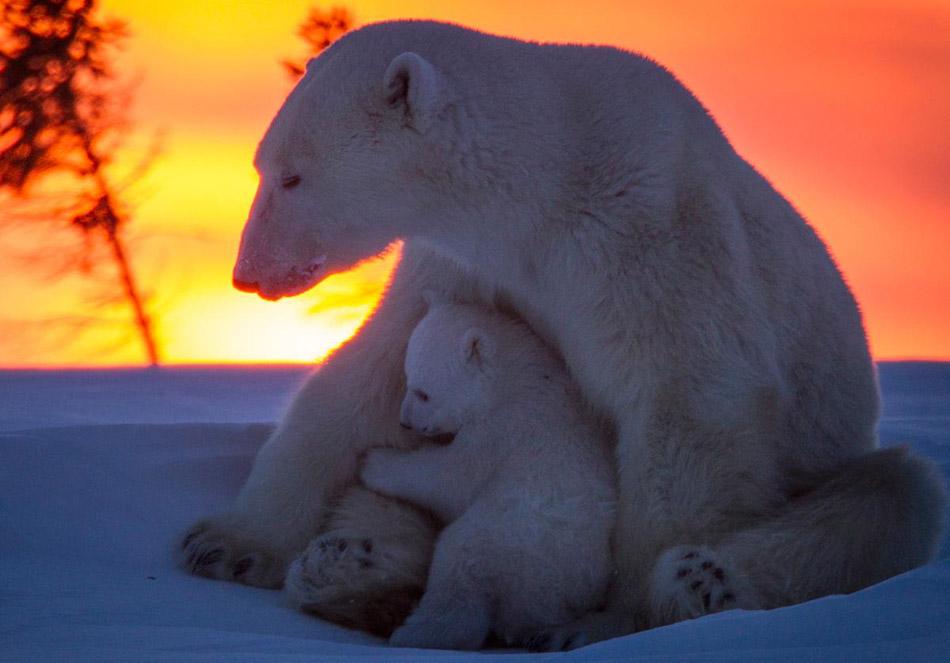 国家公园的小北极熊宝宝依偎在母亲身边,样子憨态可掬,呆萌可爱
