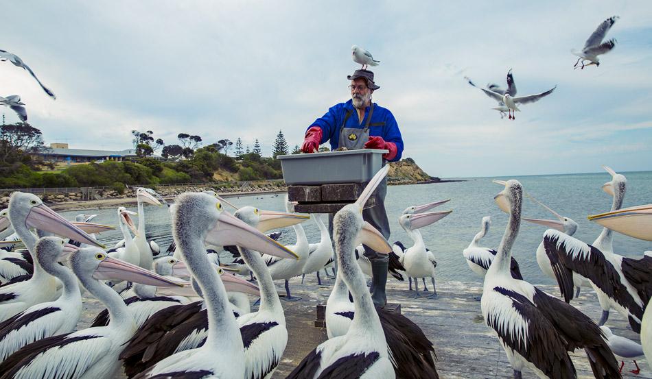 袋鼠岛喂鹈鹕:鹈鹕是老爷爷John最好的朋友 他几十年如一日照顾这些美丽的鸟类