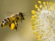 西方蜜蜂大量神秘消失 对人类是一场巨大灾难
