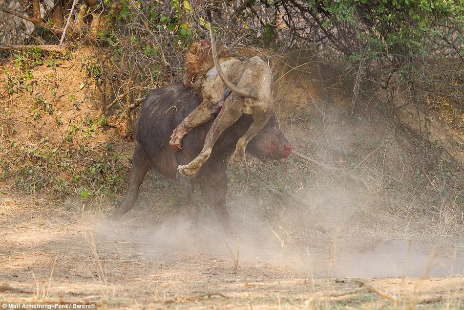 雄狮与水牛大战 双方同归于尽 - 百姓生活 - 百姓新闻
