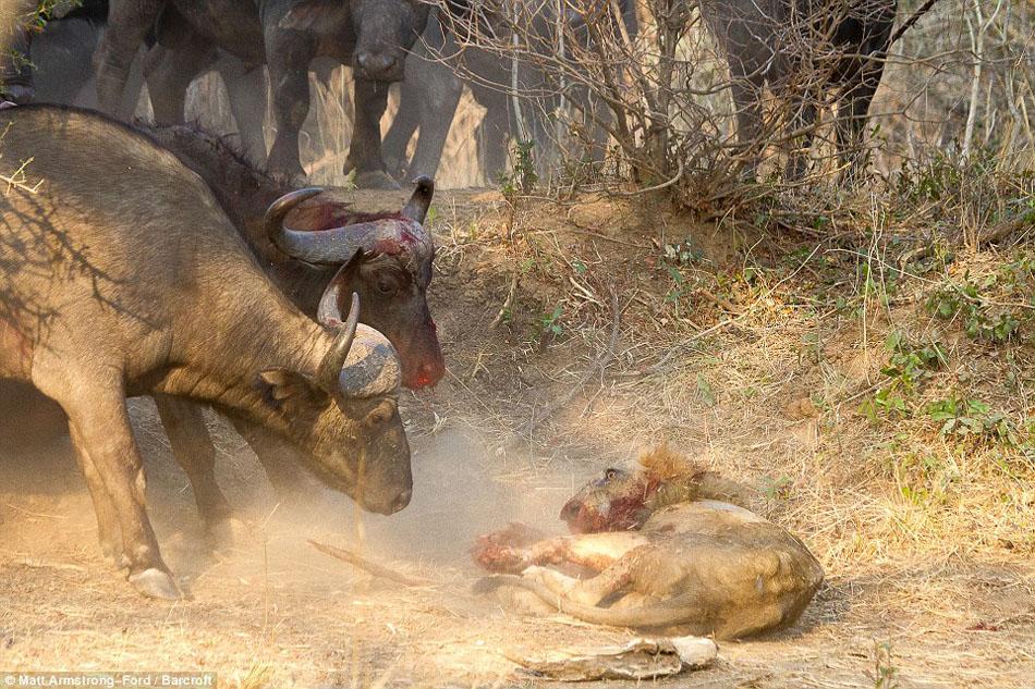 水牛与雄狮大战一小时 双方同归于尽 - 海阔山遥 - .
