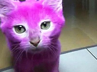 俄罗斯一只猫咪被主人涂成粉色中毒死亡
