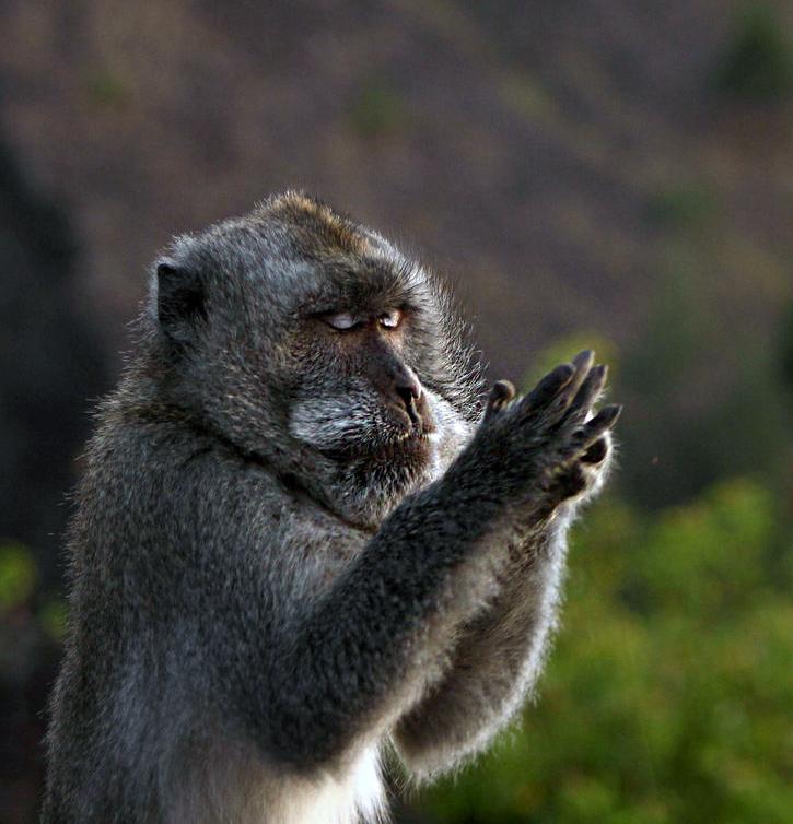双手合十虔诚祈祷的猕猴