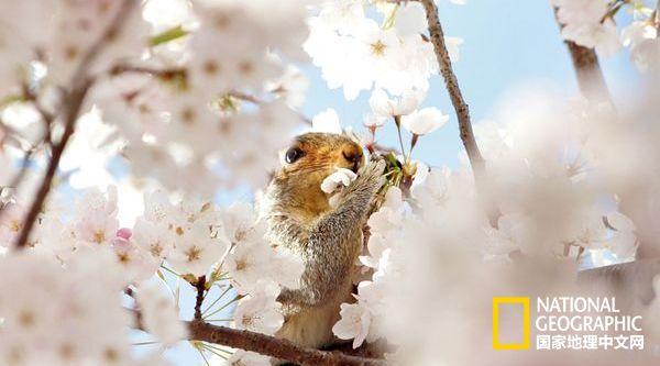 世界各地的樱花