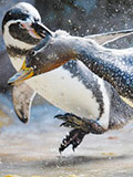 企鹅受刺激后做出反常举动 吞食亲生子