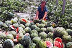 河北:4.5亩西瓜一夜被砍